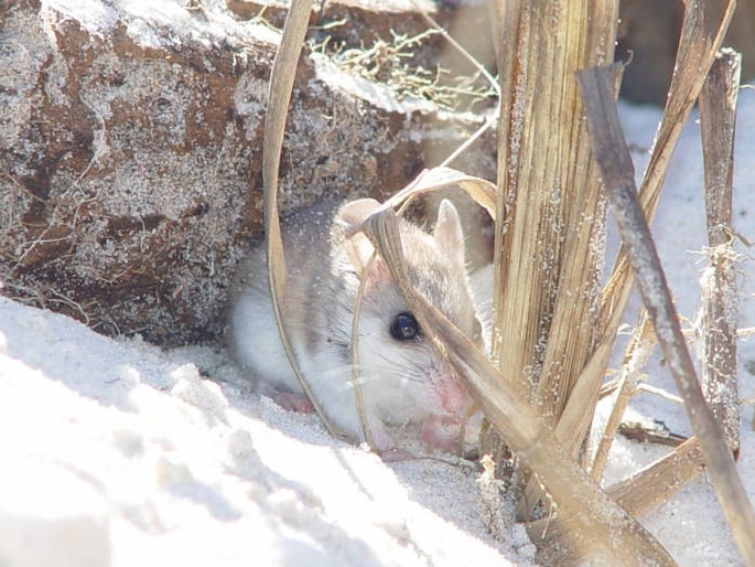 Peromyscus polionotus seleccion natural