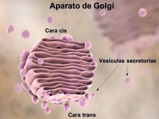 832597ef4b82 Célula animal: todo sobre la célula animal (con imágenes) - Toda Materia