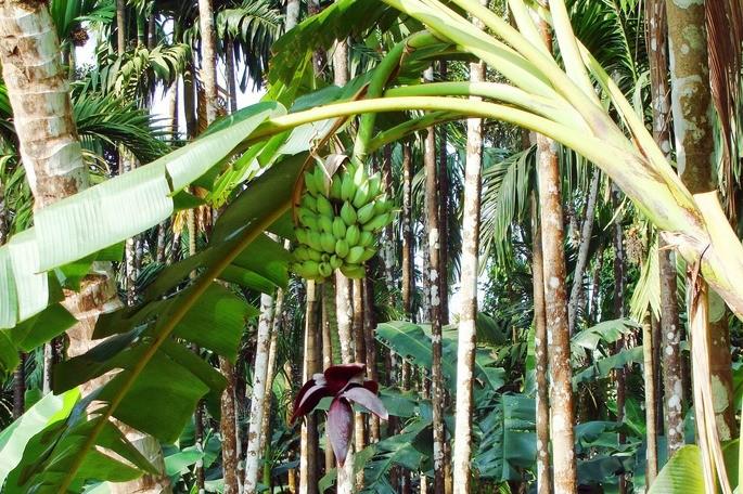 componentes biotico y abiotico de un ecosistema, como plantas de banana en un pais tropical