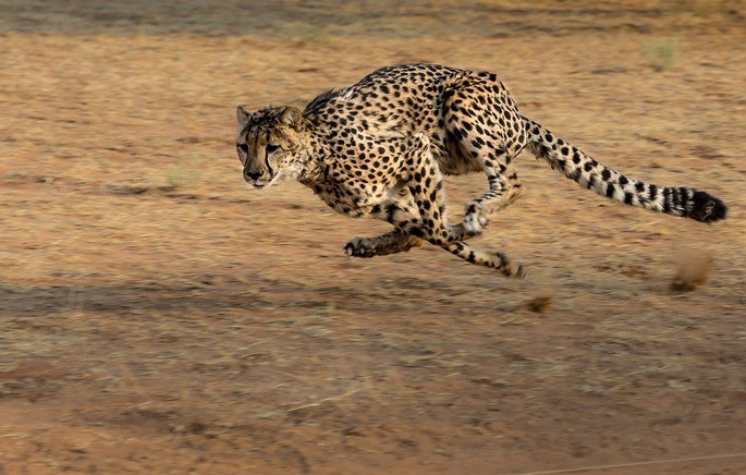 guepardo corriendo selección natural animás más veloz