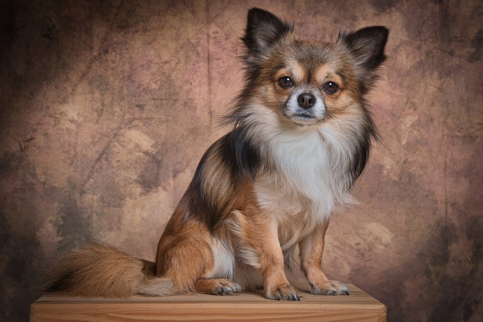 selección artificial perro chihuahua