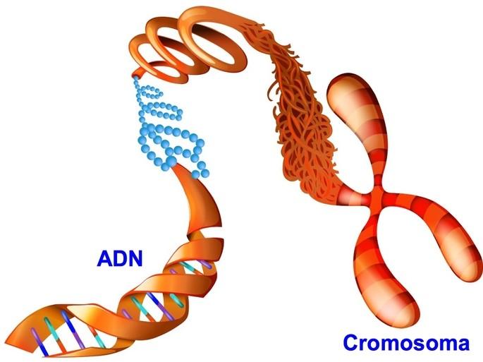 El cromosoma se forma por enrollamiento del ADN