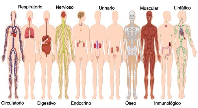 Sistemas del cuerpo humano mostrando el sistema oseo, nervioso, respiratorio circulatorio y digestivo