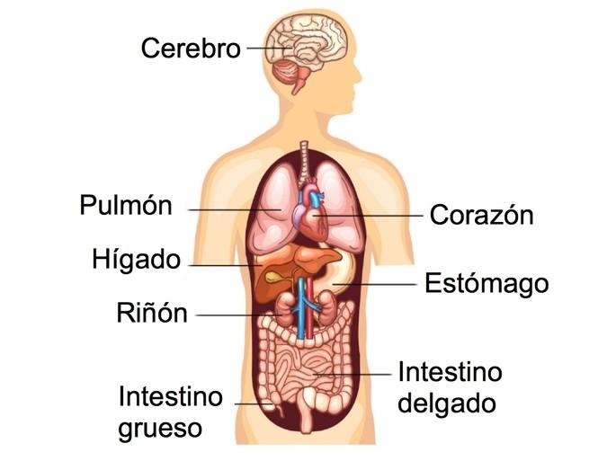 organos del cuerpo humano higado,, pulmones, riñones, corazon, cerebro intestino delgado y grueso