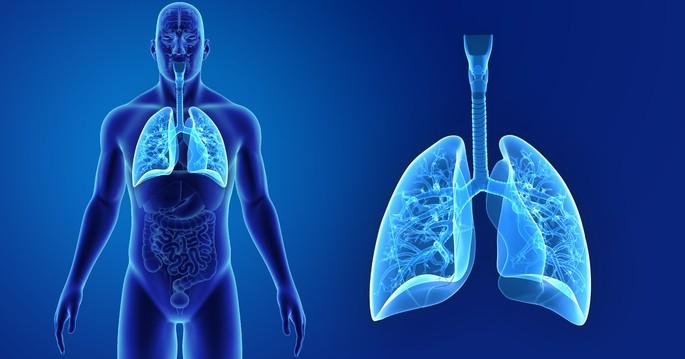 Imagen del sistema respiratorio, donde se distinguen los pulmones y los conductos respiratorios