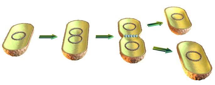 fision binaria de bacterias reproduccion asexual