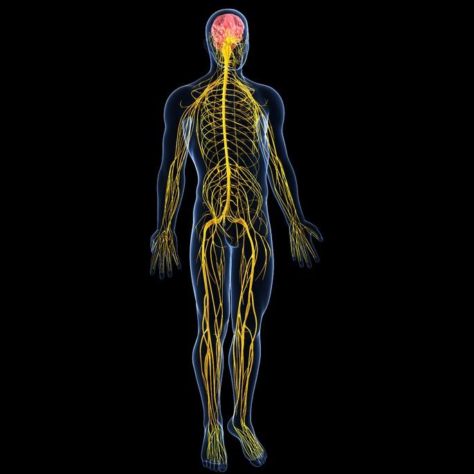 sistema nervioso periferico mostrando los nervios que salen de la medula espinal