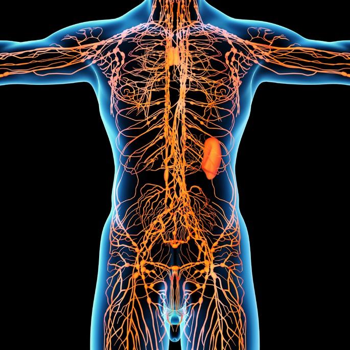sistema linfatico con sus vasos y nodulos