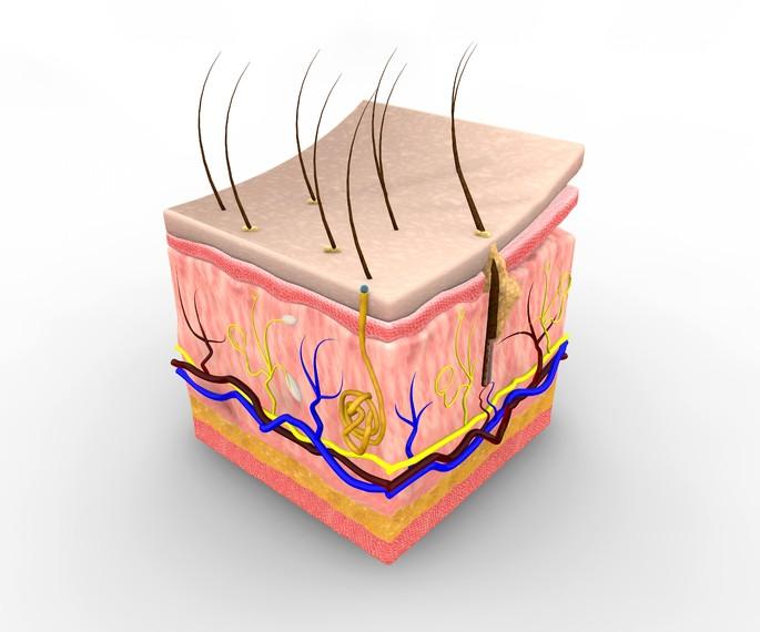 Sistema integumentaria compuesto de piel, pelos, glandulas y uñas