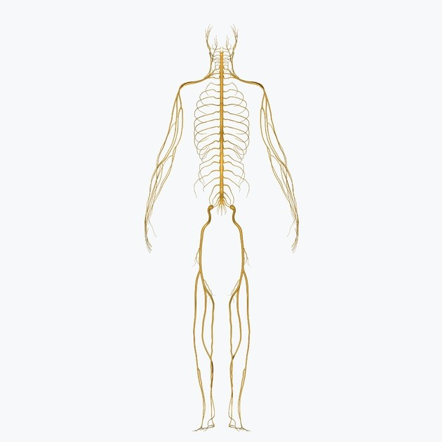 sistema nervioso perif´rico
