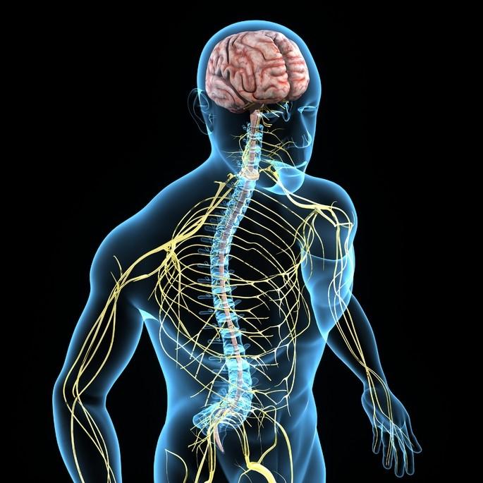 imagen del sistema nervioso donde se muestra el cerebro, la medula espinal y los nervios