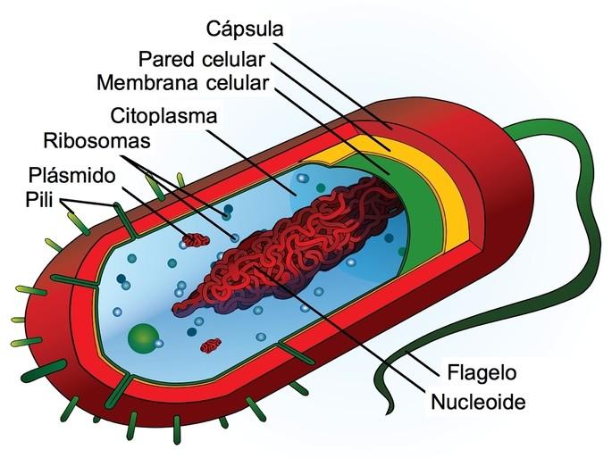 Célula Procariota Qué Es Partes Y Características Toda Materia
