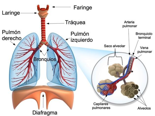 Sistema Respiratorio Toda Materia