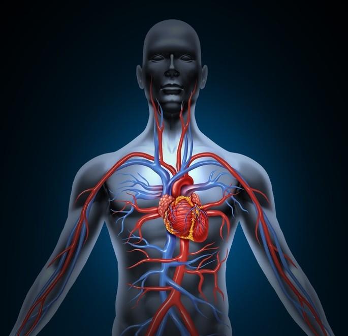 Sistema circulatorio en sistemas del cuerpo humano con el corazon y las principales arterias y venas