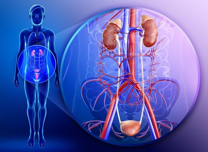imagen del sistema urinario y sus partes: riñones, ureteres, vejiga y uretra